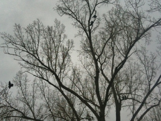 A tree of crows