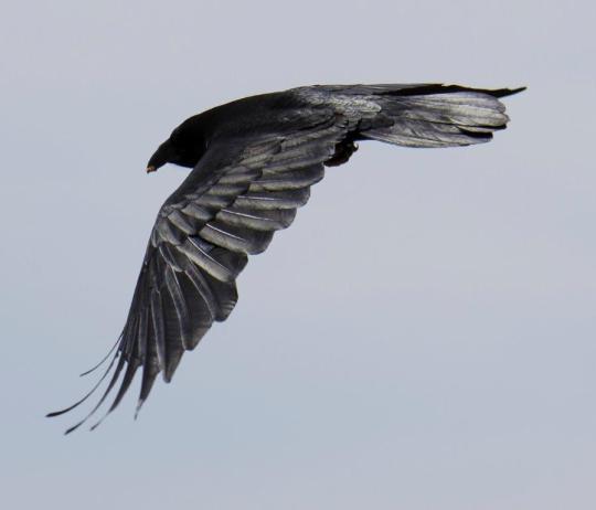 Raven Messenger
