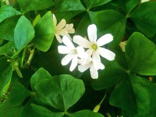 Magical Shamrocks